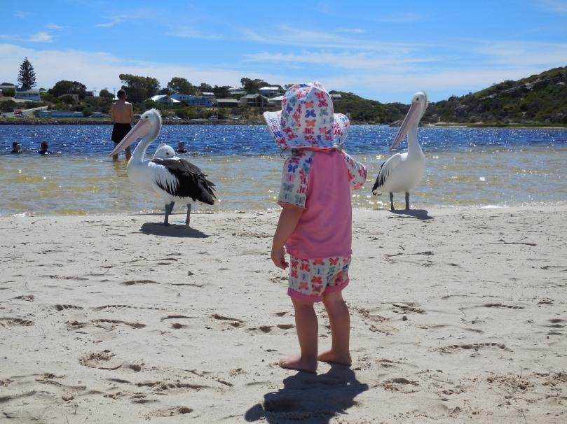 Pelicans at Moore River