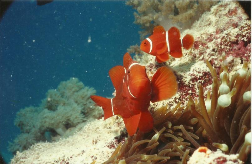Clown Fish on the Great Barrier Reef