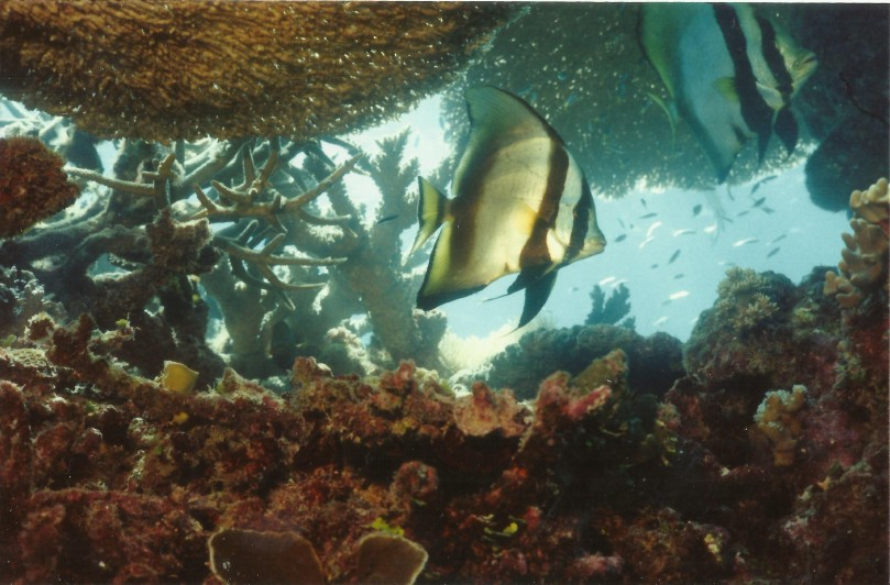 Angel fish on the Great Barrier Reef