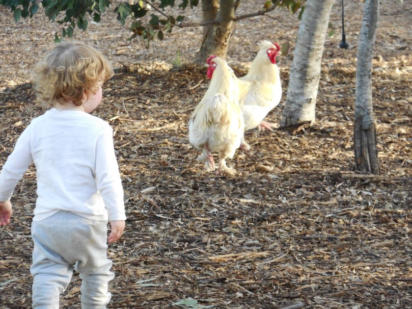 Chasing chickens