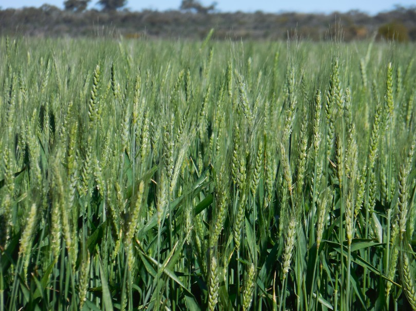 Carnamah Wheat