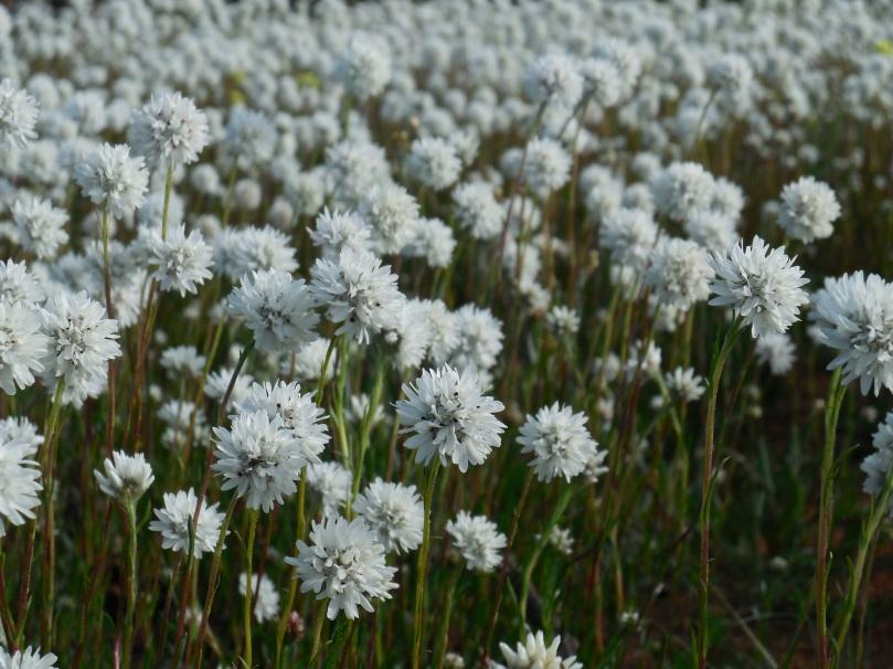 Carnamah Wildflowers
