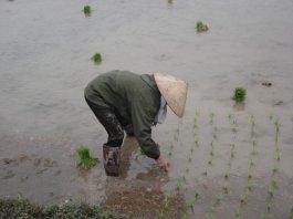 Planing rice