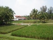 Langkawi Rice paddies
