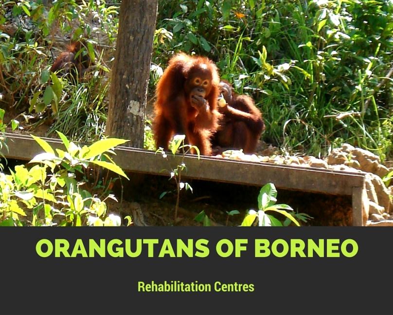 orangutans from borneo