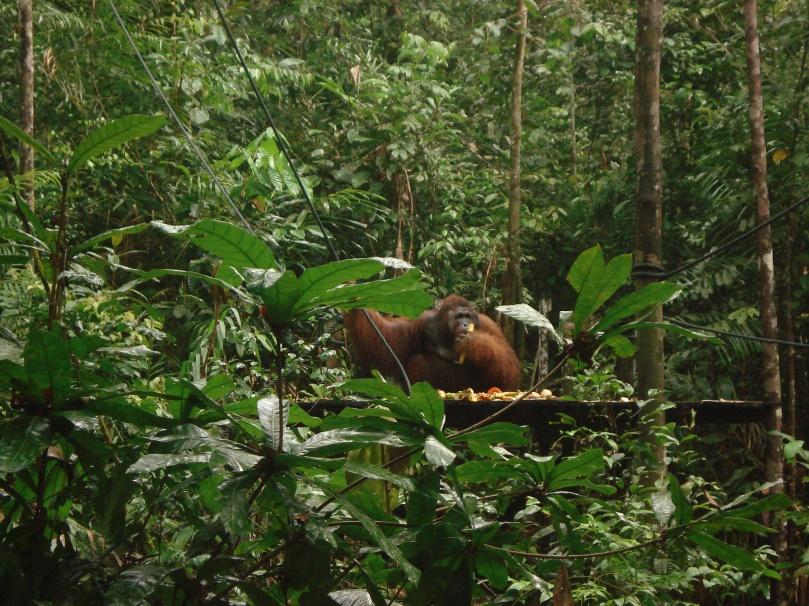 Semenggoh wildlife.JPG