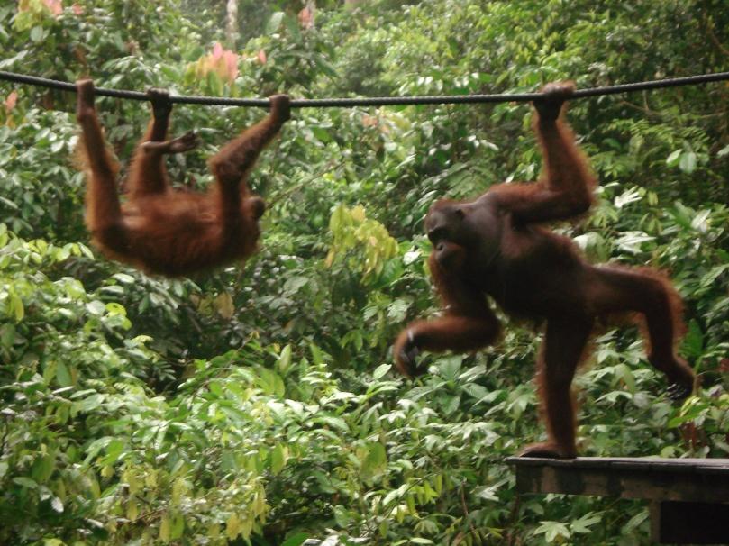 Sepilok orangutans