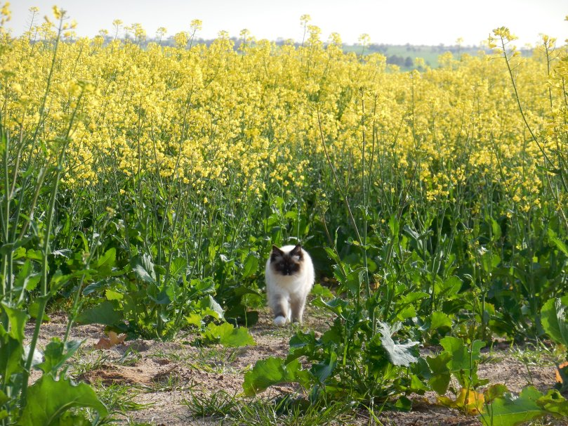 Cat in the canola.JPG