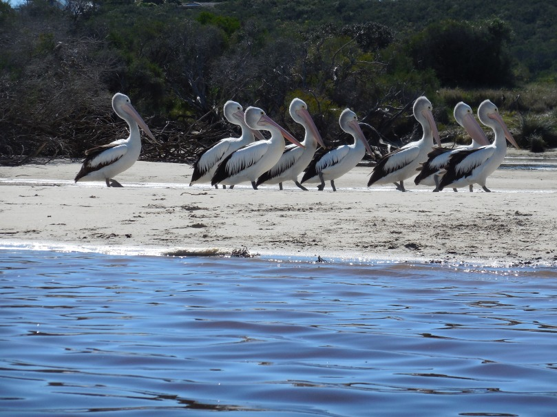 guilderton-pelicans