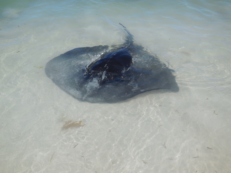 Hamelin Bay Sting Ray.JPG
