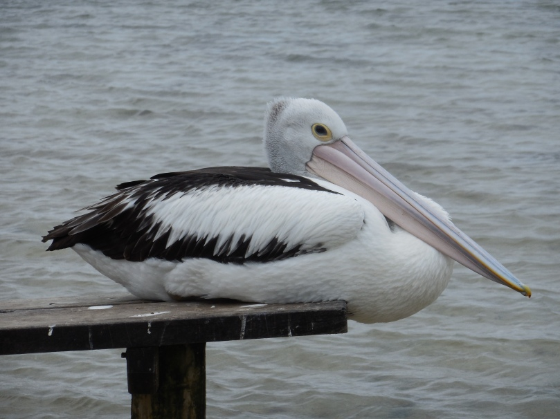 pelican-on-hardy-inlet