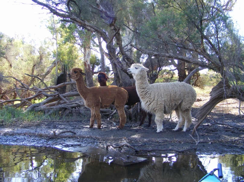 Alpacas on Swan River.jpg