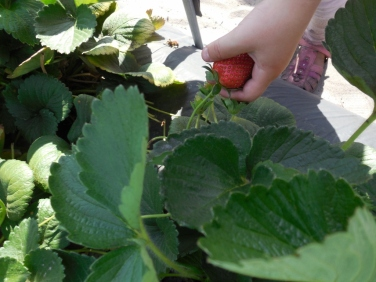 Picking Strawberries