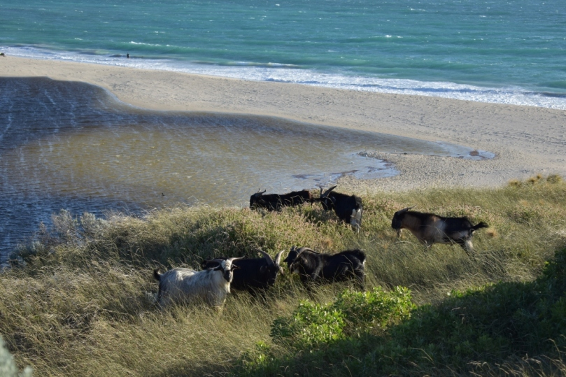 Guilderton Goats.jpg