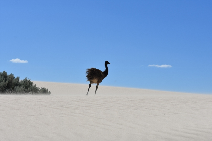 Emu at Sandy Cape