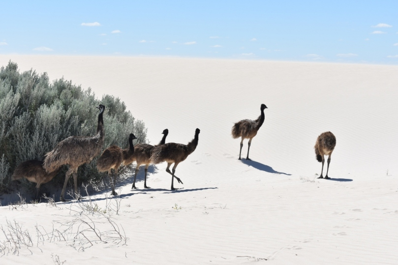 Sandy Cape Emus