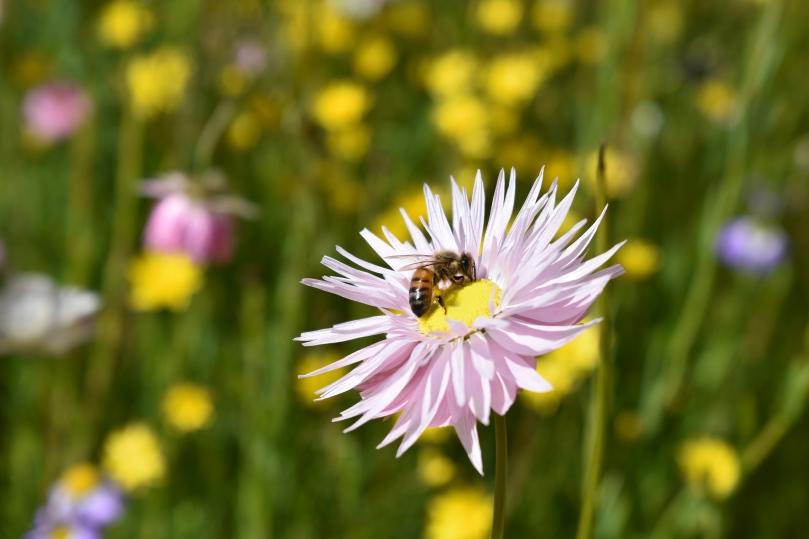 Bee on everlasting
