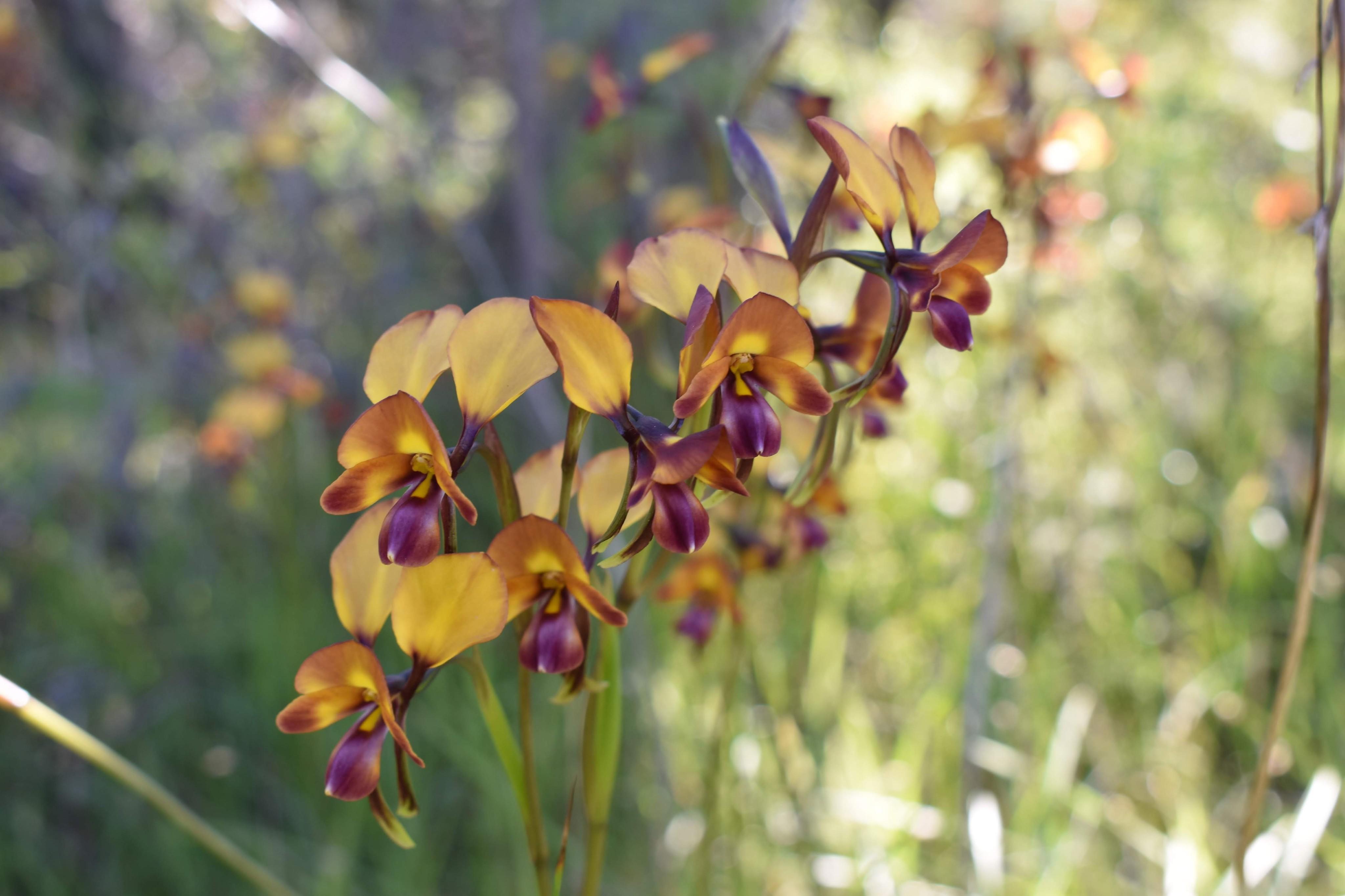 donkey-orchids